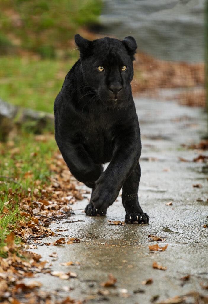 black panther running